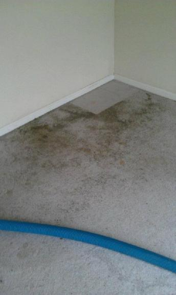 Cat Carpet Stains